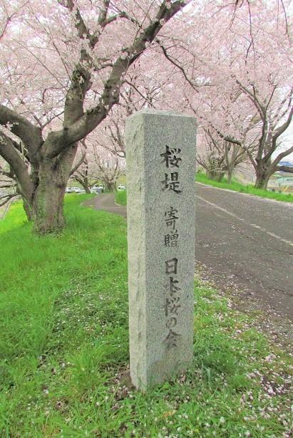 yoshimi-sakura170409-108.jpg
