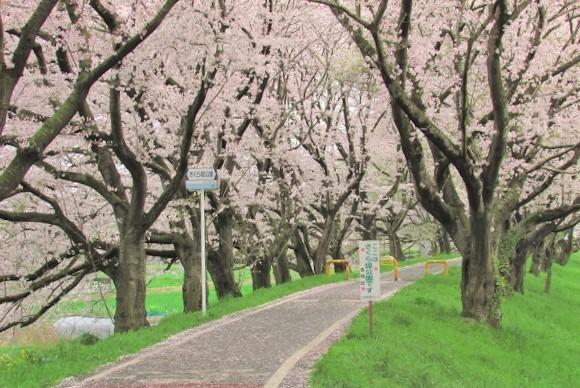 yoshimi-sakura170409-109.jpg