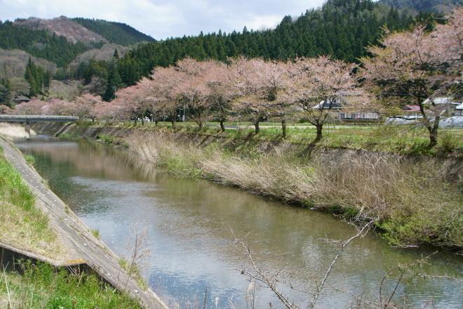 ふるどの桜街道 もう葉桜状態です。