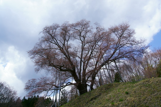古殿町・越代の桜 まだ一分咲き位