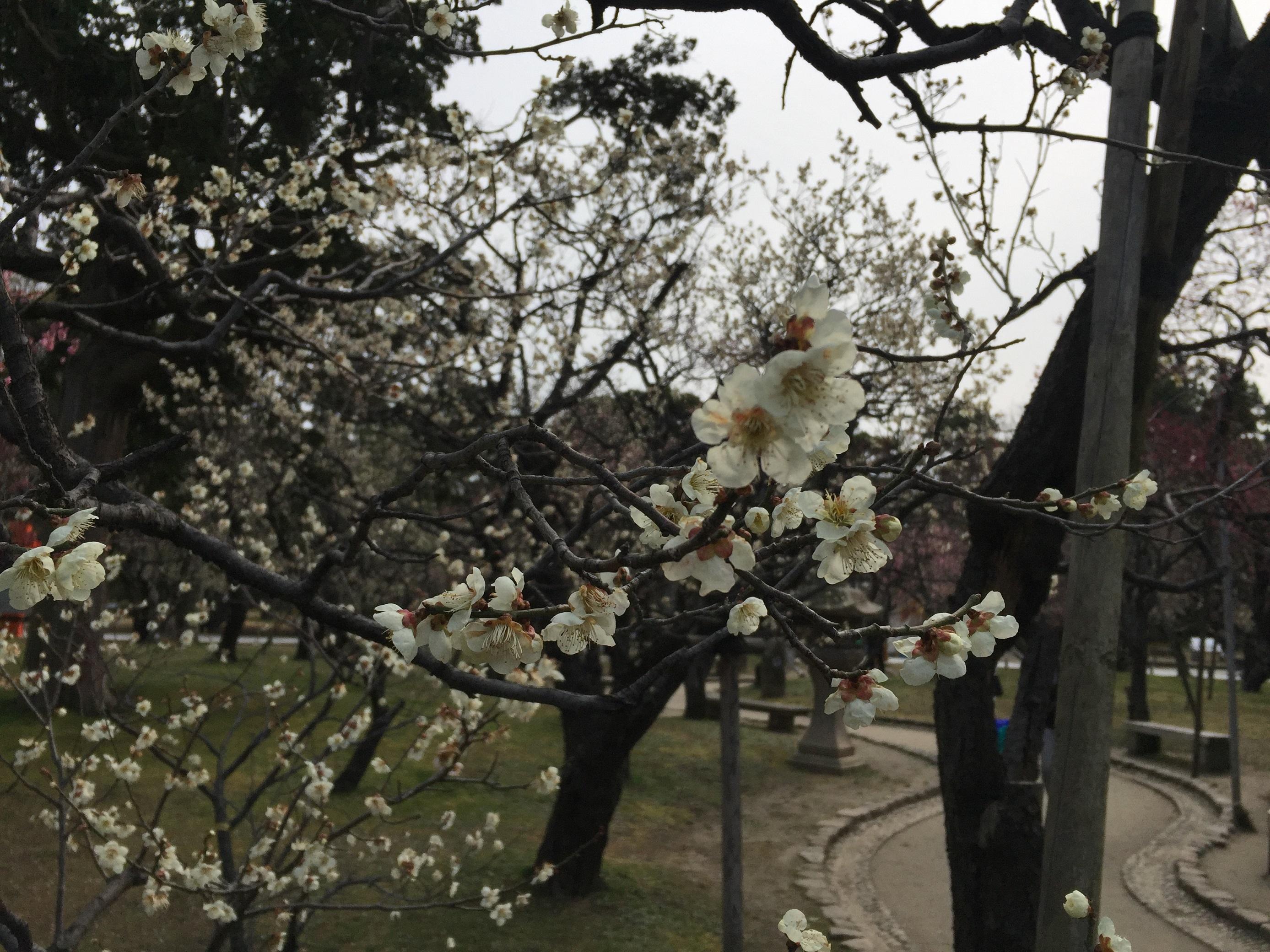 新潟 白山公園 梅