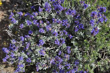 blog 12 395S near Olanch, Sage Flats Drive, Desert Sage (Salvia dorrii), CA_DSC2532-4.6.16.(2).jpg