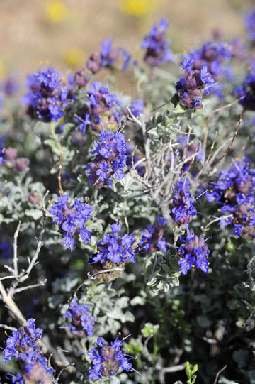 blog 12 395S near Olanch, Sage Flats Drive, Desert Sage (Salvia dorrii), CA_DSC2527-4.6.16.(2).jpg