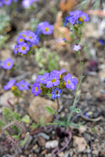 blog 12 395S near Olanch, Sage Flats Drive, Fremont's Phacelia, CA_DSC2473-4.6.16.(2).jpg