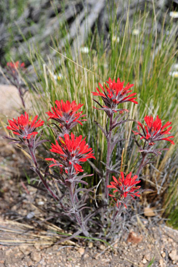 blog 12 395S near Olanch, Sage Flats Drive, Desert Indian Paintbrush, CA_DSC2493-4.6.16.(2).jpg