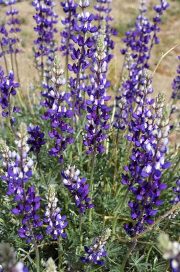 blog 12 395S near Olanch, Sage Flats Drive, Lupine, CA_DSC2468-4.6.16.(2).jpg