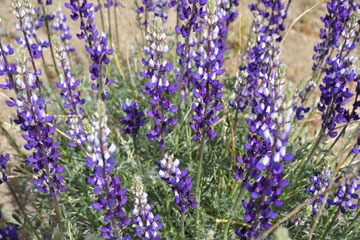 blog 12 395S near Olanch, Sage Flats Drive, Lupine, CA_DSC2467-4.6.16.(2).jpg