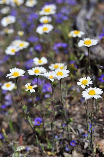 blog 12 395S near Olanch, Sage Flats Drive, Madia & Fremont's Phacelia, CA_DSC2481-4.6.16.(2).jpg