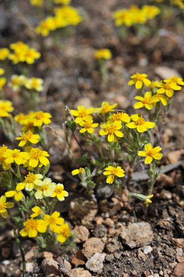 blog 12 395S near Olanch, Sage Flats Drive, Goldfields, CA_DSC2498-4.6.16.(2).jpg