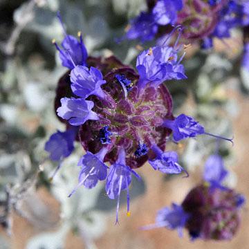 blog 12 395S near Olanch, Sage Flats Drive, Desert Sage (Salvia dorrii) 2, CA_DSC2542-4.6.16.(2).jpg