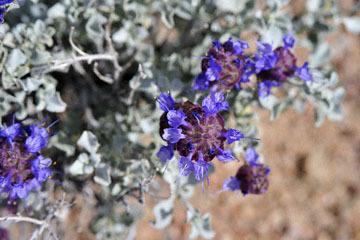 blog 12 395S near Olanch, Sage Flats Drive, Desert Sage (Salvia dorrii), CA_DSC2541-4.6.16.(2).jpg