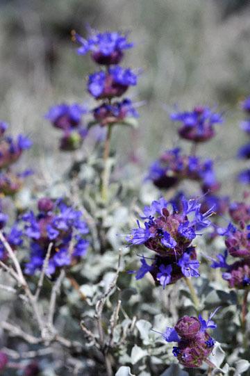 blog 12 395S near Olanch, Sage Flats Drive, Desert Sage (Salvia dorrii), CA_DSC2538-4.6.16.(2).jpg