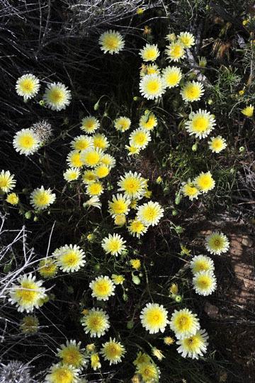 blog 12 395S near Olanch, Sage Flats Drive, Desert Dandelion, CA_DSC2554-4.6.16.(2).jpg