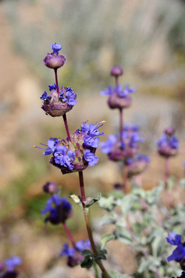 blog 12 395S near Olanch, Sage Flats Drive, Desert Sage (Salvia dorrii), CA_DSC2564-4.6.16.(2).jpg