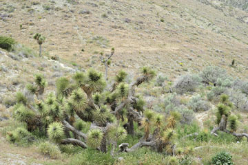 blog 13 Tehachapi Mountains, Yucca, CA_DSC2575-4.7.16.jpg