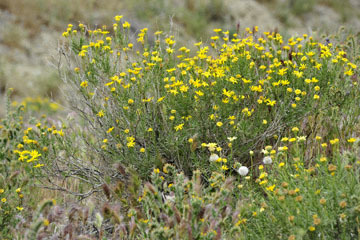 blog 13 Tehachapi Mountains, Fiddleneck, CA_DSC2572-4.7.16.jpg