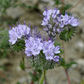 blog 13 Tehachapi Mountains, Phacelia 2, CA_DSC2584-4.7.16.jpg