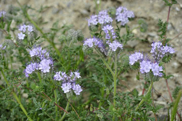 blog 13 Tehachapi Mountains, Phacelia, CA_DSC2583-4.7.16.jpg