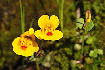 blog 199W Whiskytown area, Chickweed Monkeyflower (Mimulus alsinoides), CA_DSC8303-4.17.10 (2).jpg