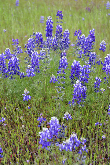 blog 18 Oakdale to Sonora 180E-120E on the way to Yosemite to Don Pedro Reservoir, Miniature Lupine, CA_DSC3692-4.8.16.(5).jpg