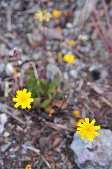 blog 18 Oakdale to Sonora 180E-120E on the way to Yosemite to Don Pedro Reservoir, Woodland Agoseris (Agoseris heterophylla), CA_DSC3733-4.8.16.(5).jpg