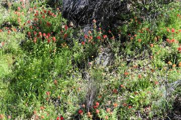 blog 26 130E Mt. Hamilton to Patterson, Indian Paintbrush_DSC6173-4.13.16.(1).jpg