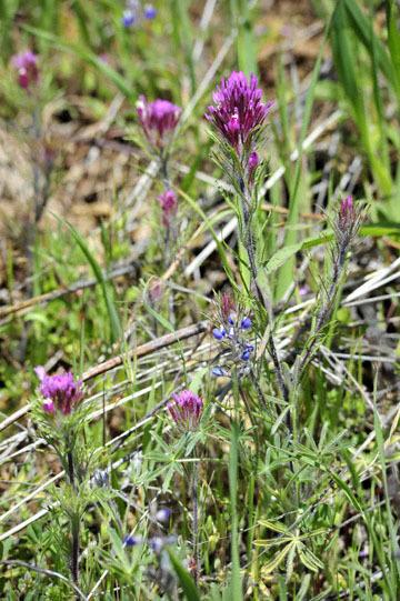 blog 27 130E Mt. Hamilton to Patterson, Owl's Clover (Castilleja exserta)_DSC6235-4.13.16.(2).jpg