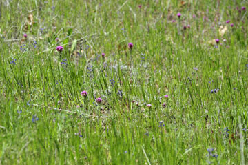 blog 27 130E Mt. Hamilton to Patterson, Owl's Clover (Castilleja exserta)_DSC6223-4.13.16.(2).jpg