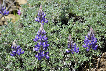 blog 27 130E Mt. Hamilton to Patterson, Lupine (Lupinus formosus)_DSC6252-4.13.16.(2).jpg