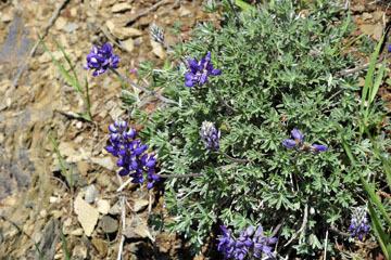 blog 27 130E Mt. Hamilton to Patterson, Lupine (Lupinus formosus)_DSC6246-4.13.16.(2).jpg