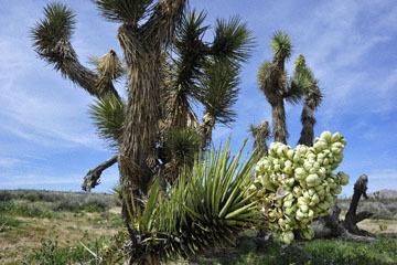 blog 9 Mojave 58E, Joshua Tree flowers, CA_DSC6332-3.17.17.(2).jpg