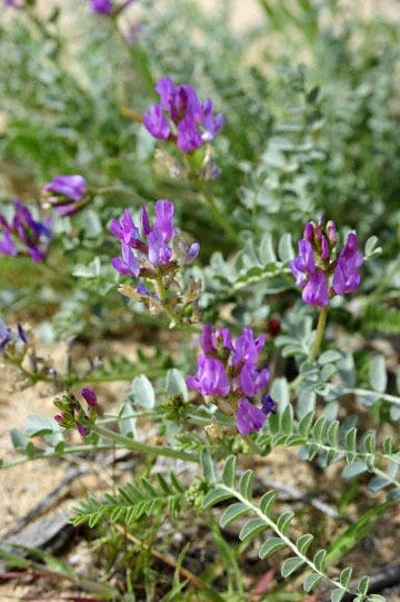 blog 9 Mojave 58E, Desert Locoweed, CA_DSC6373-3.17.17.(2).jpg