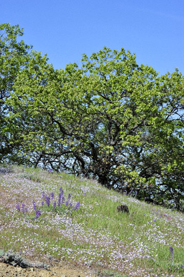 blog 27 130E Mt. Hamilton to Patterson, Lupine, Gilia, Owl's Clover & Oak_DSC6271-4.13.16.(2).jpg