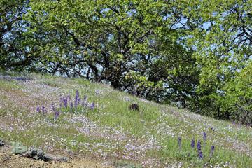 blog 27 130E Mt. Hamilton to Patterson, Lupine, Gilia, Owl's Clover & Oak_DSC6270-4.13.16.(2).jpg