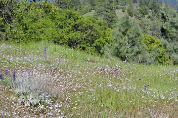 blog 27 130E Mt. Hamilton to Patterson, Lupine & Gilia_DSC6266-4.13.16.(2).jpg