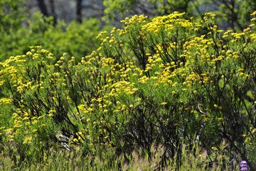 blog 27 130E Mt. Hamilton to Patterson, Goldenbush_DSC6301-4.13.16.(2).jpg