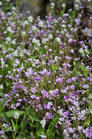 blog 27 130E Mt. Hamilton to Patterson, Claytonia (Spring Beauty) & ?_DSC6439-4.13.16.(2).jpg