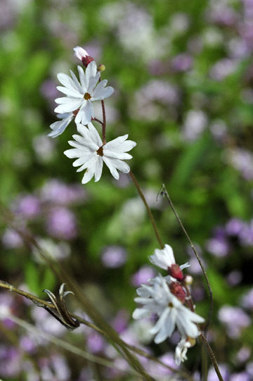 blog 27 130E Mt. Hamilton to Patterson, Claytonia (Spring Beauty) & Woodland Star 2_DSC6437-4.13.16.(2).jpg