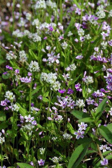 blog 27 130E Mt. Hamilton to Patterson, Claytonia (Spring Beauty) & ? 2_DSC6434-4.13.16.(2).jpg