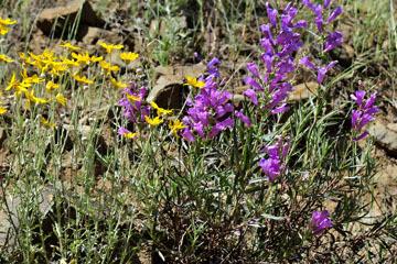 blog 28 Bear Valley via Williams, Foothill Penstemon & Woolly Daisy ?_DSC6476-4.14.16.jpg