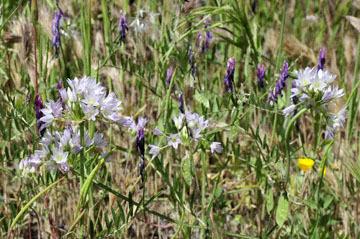 blog 28 Bear Valley via Williams, Purdy's Onion (Allium fimbriatum var. purdyi) 2_DSC6491-4.14.16.jpg