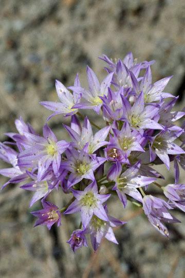 blog 28 Bear Valley via Williams, Purdy's Onion (Allium fimbriatum var. purdyi) 2_DSC6485-4.14.16.jpg