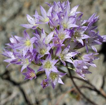 blog 28 Bear Valley via Williams, Purdy's Onion (Allium fimbriatum var. purdyi) 2_DSC6483-4.14.16.jpg