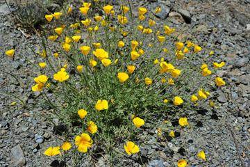 blog 28 Bear Valley via Williams, California Poppy_DSC6496-4.14.16.jpg