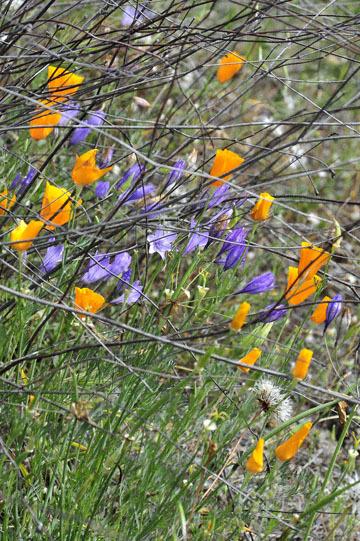 blog 28 Bear Valley, California Poppy & Ithuriel's Spear 2_DSC6580-4.14.16.jpg