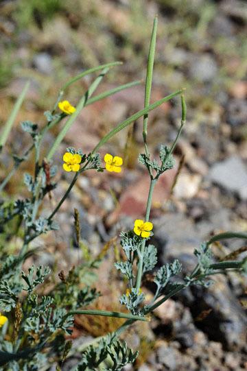 blog 10 Mojave to Daggett 58E, Coville's Poppy-Pygmy Poppy (Eschscholzia minutiflora)_DSC6778-3.19.17.(1).jpg