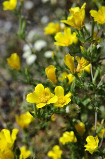 blog 10 Mojave to Daggett 58E, Cinquefoil ?_DSC6775-3.19.17.(1).jpg