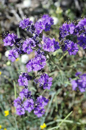 blog 10 Mojave to Daggett 58E, Phacelia_DSC6789-3.19.17.(1).jpg