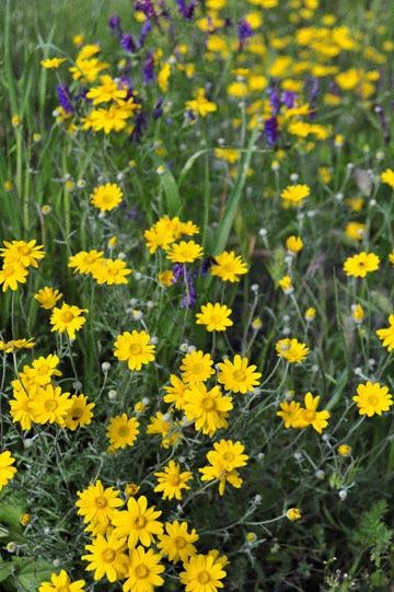 blog 28 Bear Valley, Common Woolly Sunflower_DSC6613-4.14.16.jpg