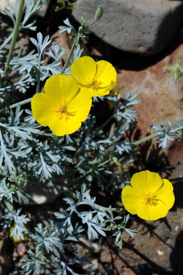 blog 10 Mojave to Daggett 58E, Mojave Poppy (Eschscholtzia glyptosperma) 2_DSC6792-3.19.17.(1).jpg